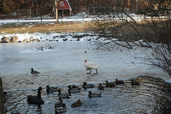 Solstice and other waterfowl are among the residents at the Kellogg Bird Sanctuary