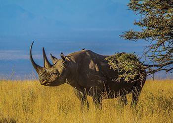 Black rhinoceros in the wild