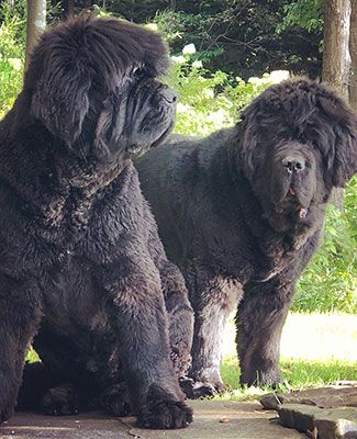 Two large dark brown Newfoundland dogs named Banks and Dawson