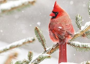 cardinal perched on a snowy pine branch