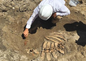 archaeologist unearths cow skeleton