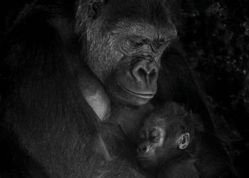 gorilla mother clutches baby to chest