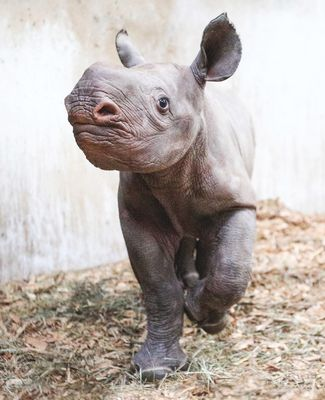 Potter Park Zoo's newest addition, Jaali, a baby rhino