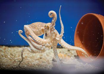 Octopus in IQ's testing aquarium