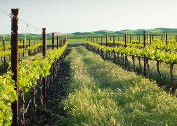 Abeja vineyard