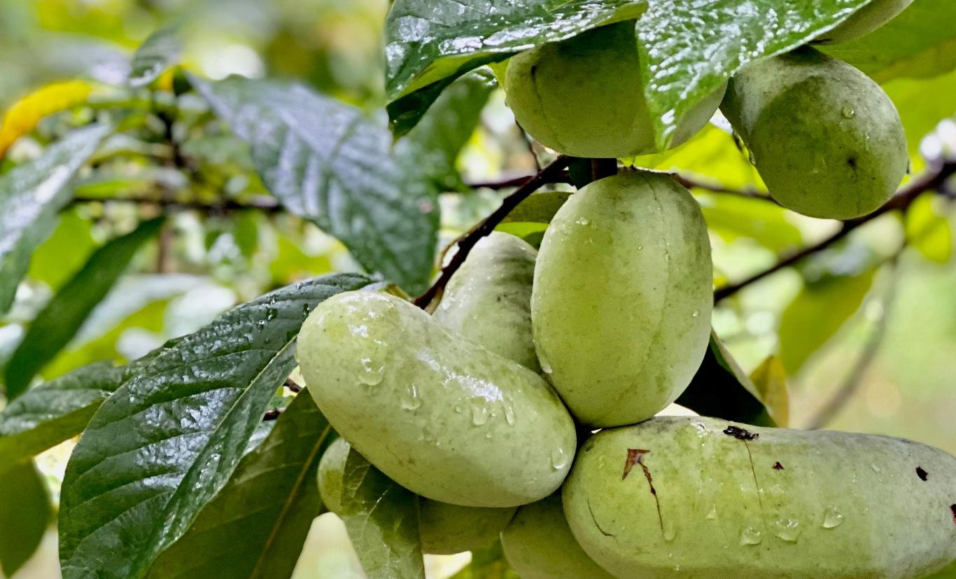 Pawpaws growing at Jackson Roger's Reserve