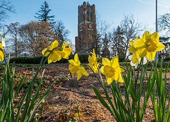 Photo of yellow flowers with Beaumont Tower in the background.