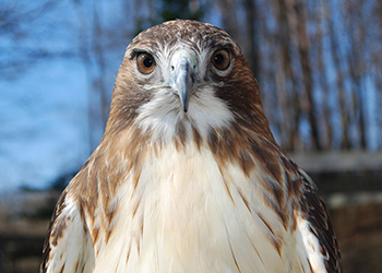 A hawk that receives care at the Kellogg Bird Sanctuary