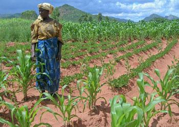 MSU Lands Grant to Boost Yields of Critical West-African Crop